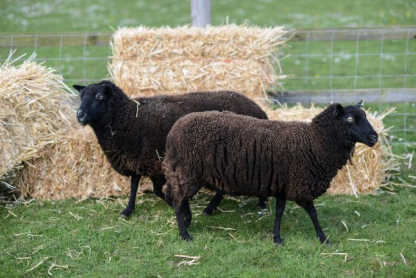 Friendly Black Welsh Mountain sheep