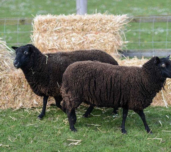 Friendly Black Welsh Mountain sheep