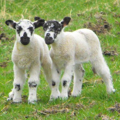 Swaledale lambs