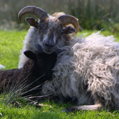 Very rare Boreray sheep