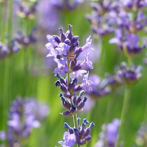 Pure organic french lavender
