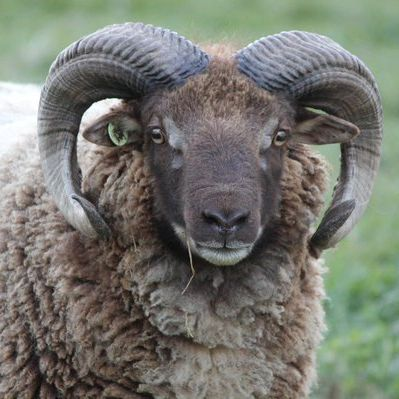 Shetland sheep produce the finest of British wool which can range in at least eleven natural shades
