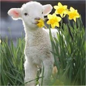 Spring Southdown lamb