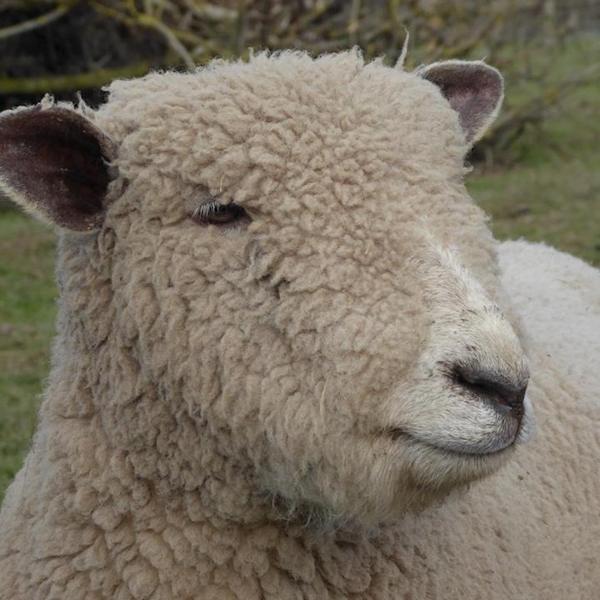 Zoe's Ryeland sheep